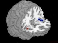 Изучение языков вызывает прирост мозга